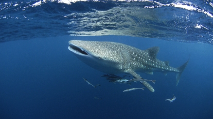 One of the highlights of Tofo is its abundance of marine megafauna